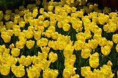 Tulipes jaunes de vague chez Tulip Time Festival en Holland Michigan Image stock