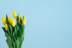 Tulipes jaunes du côté gauche de fond bleu-clair Photographie stock