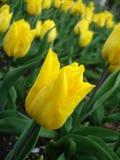 Tulipes jaunes en stationnement Photographie stock