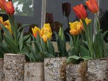 Tulipes jaunes et oranges dans un parterre photographie stock libre de droits