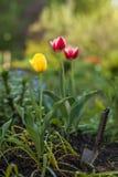 Tulipes jaunes et rouges Photos libres de droits