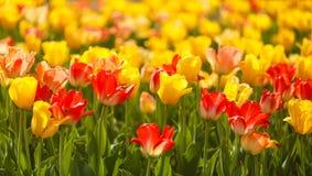 Tulipes jaunes et rouges photo stock