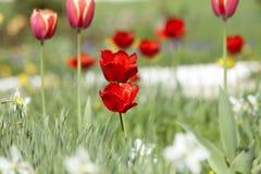 Tulipes jaunes et rouges Images stock