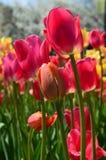 Tulipes jaunes et rouges chez Tulip Time Festival en Holland Michigan Images libres de droits