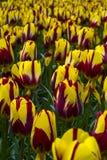 Tulipes jaunes et rouges colorées image stock