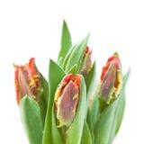 Tulipes jaunes et rouges humides de perroquet Image libre de droits