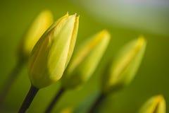 Tulipes jaunes fermées Photos libres de droits