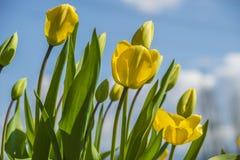 Tulipes jaunes fleuries Image libre de droits
