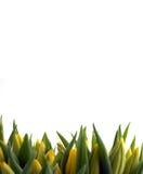 Tulipes jaunes fraîches Image libre de droits