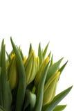 Tulipes jaunes fraîches Photos libres de droits