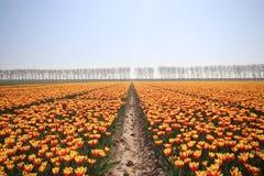 tulipes jaunes rouges au soleil dans les rangées dans un long domaine de fleur dedans Photographie stock