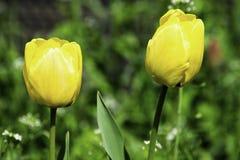 Tulipes jaunes s'élevant sur une pelouse verte au printemps images libres de droits