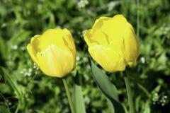 Tulipes jaunes s'élevant sur une pelouse verte au printemps photo stock
