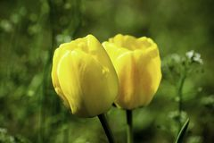 Tulipes jaunes s'élevant sur une pelouse verte au printemps image stock