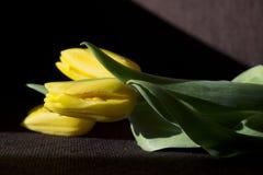 Tulipes jaunes sur le fond foncé Image stock