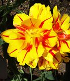Tulipes jaunes sur le parterre en parc Images libres de droits