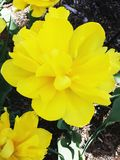Tulipes jaunes sur le parterre en parc Images stock