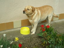Tulipes, jonquilles et Bruno un Labrador image libre de droits