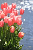 Tulipes le long de piscine photographie stock libre de droits