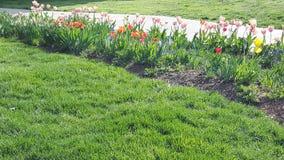Tulipes photographie stock