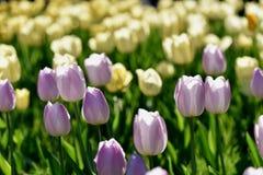 Tulipes lilas photographie stock libre de droits