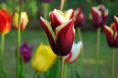 Tulipes lumineuses Image libre de droits