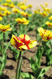 Tulipes lumineuses Photo stock