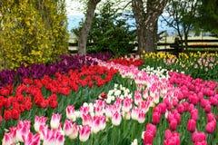 Tulipes lumineuses et color?es dans des rang?es de jardin image stock