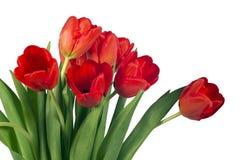 Tulipes lumineuses rouges d'isolement sur le fond blanc Image libre de droits