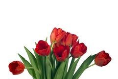 Tulipes lumineuses rouges d'isolement sur le fond blanc Photo libre de droits