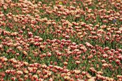 Tulipes mélangées Photographie stock libre de droits