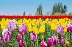 Tulipes mélangées images stock