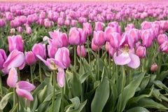Tulipes magnifiques de ressort aux nuances du rose Image stock