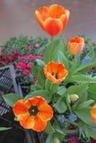 Tulipes mises en pot à vendre Photos libres de droits