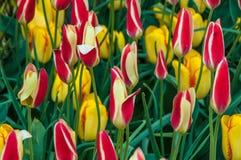 Tulipes multicolores Photographie stock libre de droits