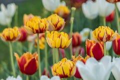 Tulipes multicolores plantées images stock