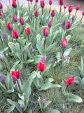 Tulipes néerlandaises image libre de droits