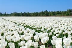 Tulipes néerlandaises blanches au printemps Photo stock