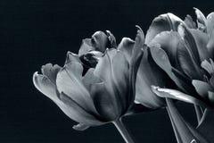 Tulipes noires en noir et blanc Photos stock