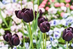 Tulipes noires sur le fond des lits de fleur fleurissants images stock