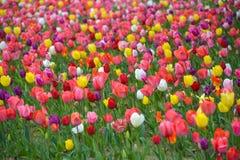 Tulipes Odaiba 2018 de voyage du Japon image libre de droits