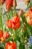 Tulipes oranges Photographie stock libre de droits