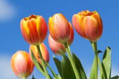 Tulipes oranges avec le fond de ciel bleu Photos stock