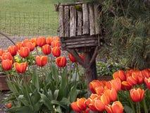 Tulipes oranges avec les pétales tiped jaunes dans un parterre photos stock