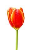 Tulipes oranges d'isolement Photos stock