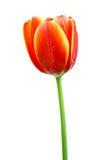 Tulipes oranges d'isolement Images libres de droits