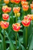 Tulipes oranges dans la lumière molle Photos libres de droits