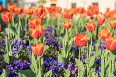 Tulipes oranges dans le jardin extérieur Images stock