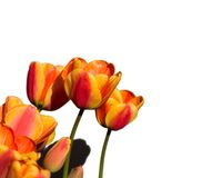 Tulipes oranges et jaunes d'isolement Image libre de droits