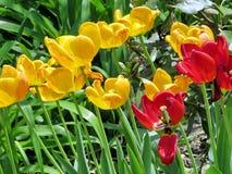 Tulipes oranges et rouges 2017 de Thornhill Photo stock